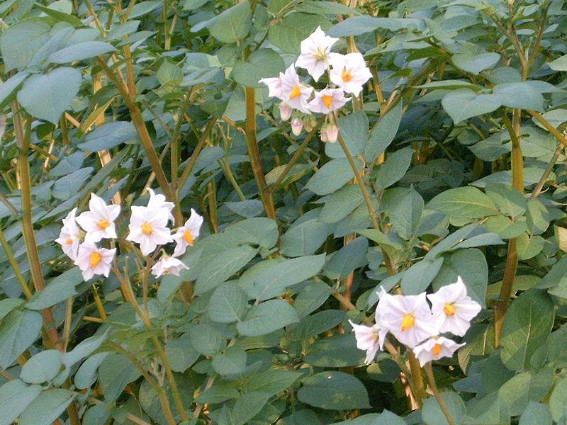 http://gardensworld.narod.ru/images/800px-Solanum_tuberosum.jpg